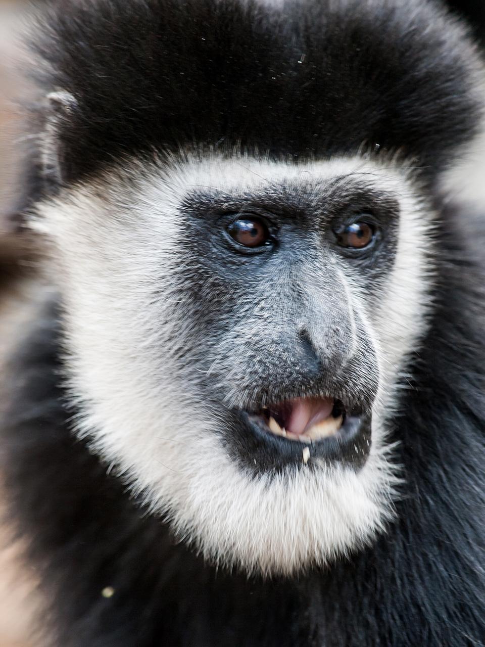 Colobus monkey face