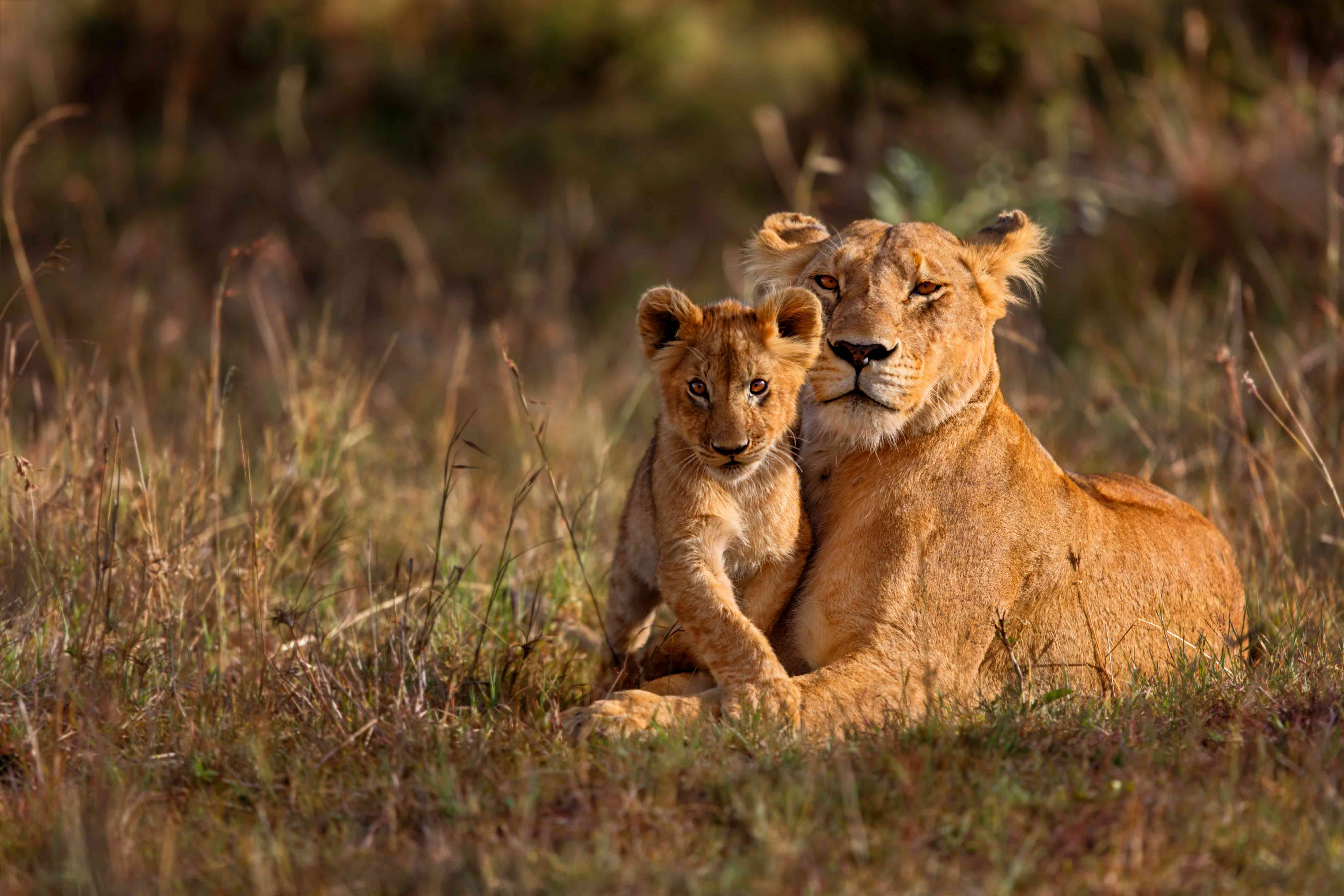 Adult female lion with a cub