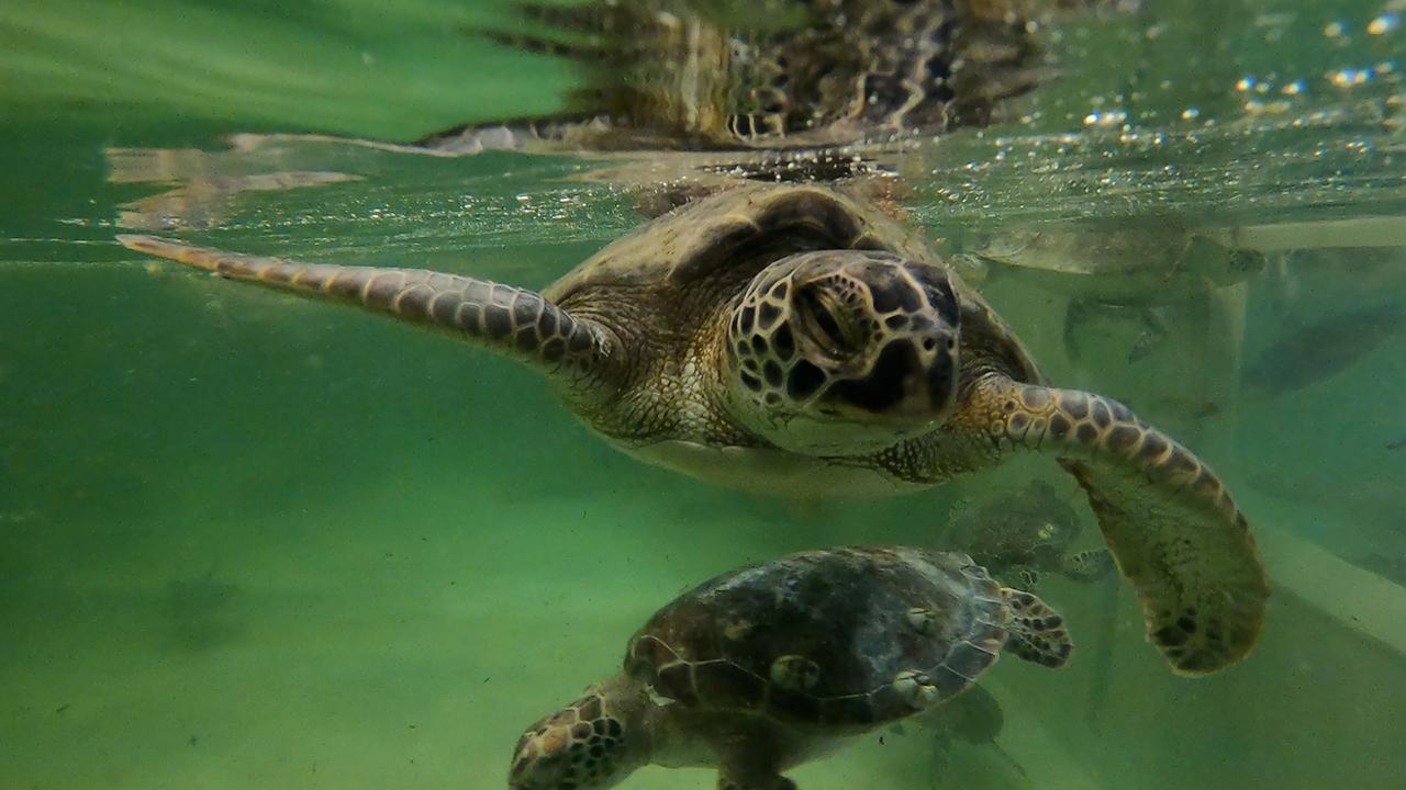 Sea turtles at Texas State Aquarium