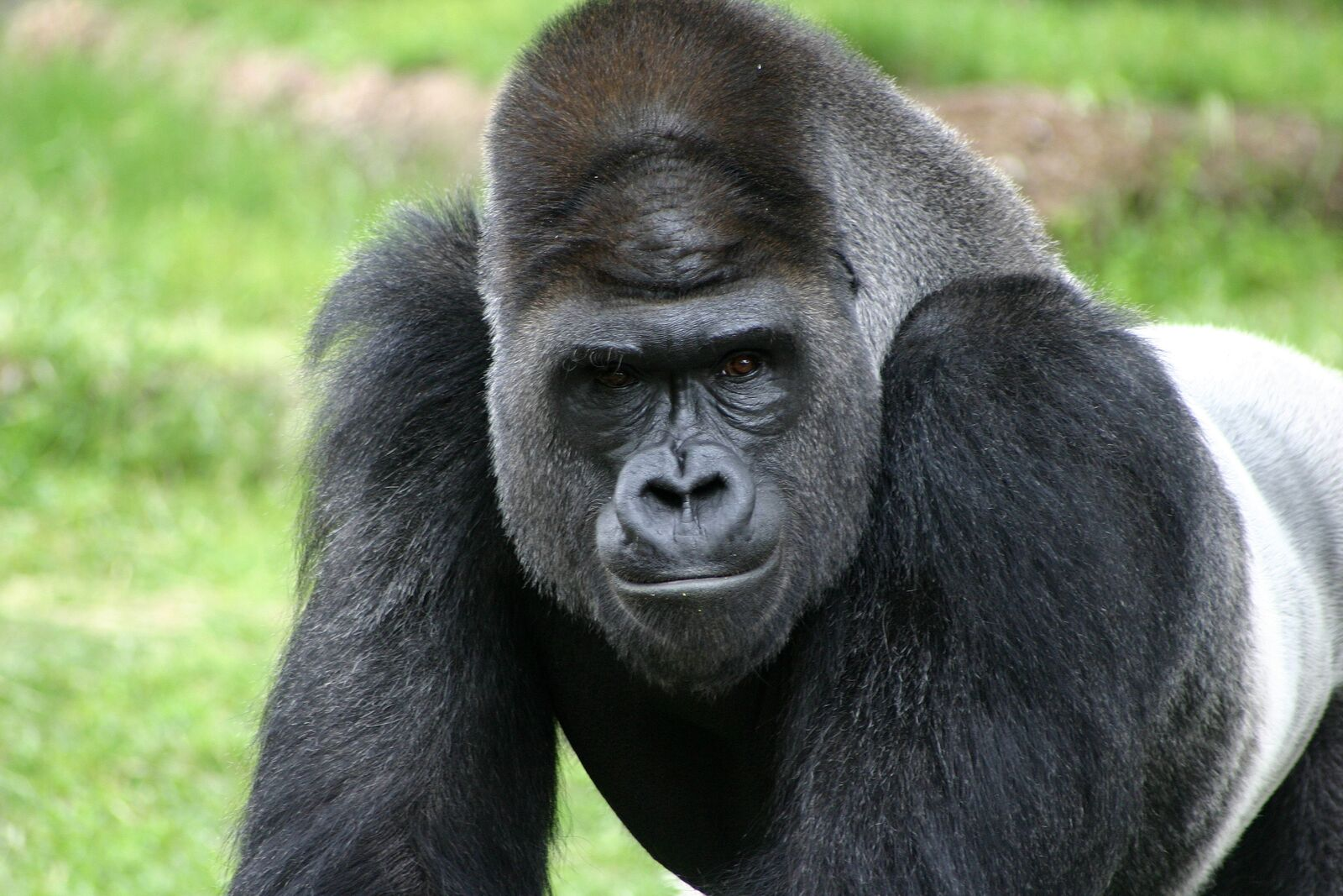Gorilla | Saving Animals From Extinction