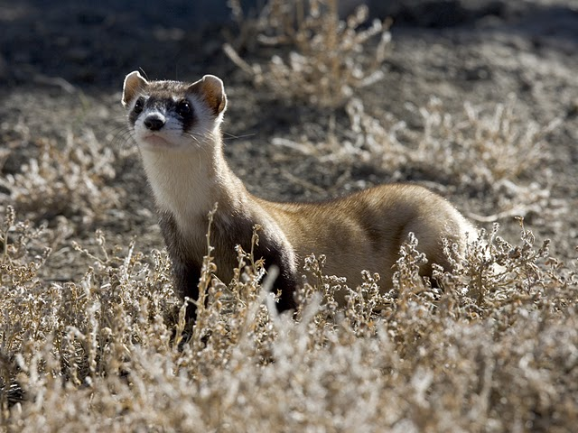 Image of a black-footed ferret from the U.S. Fish and Wildlife Service