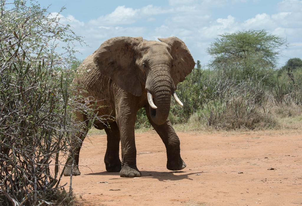 elphant walking