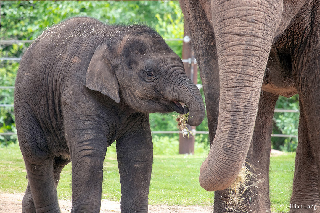 Baby and adult elephant