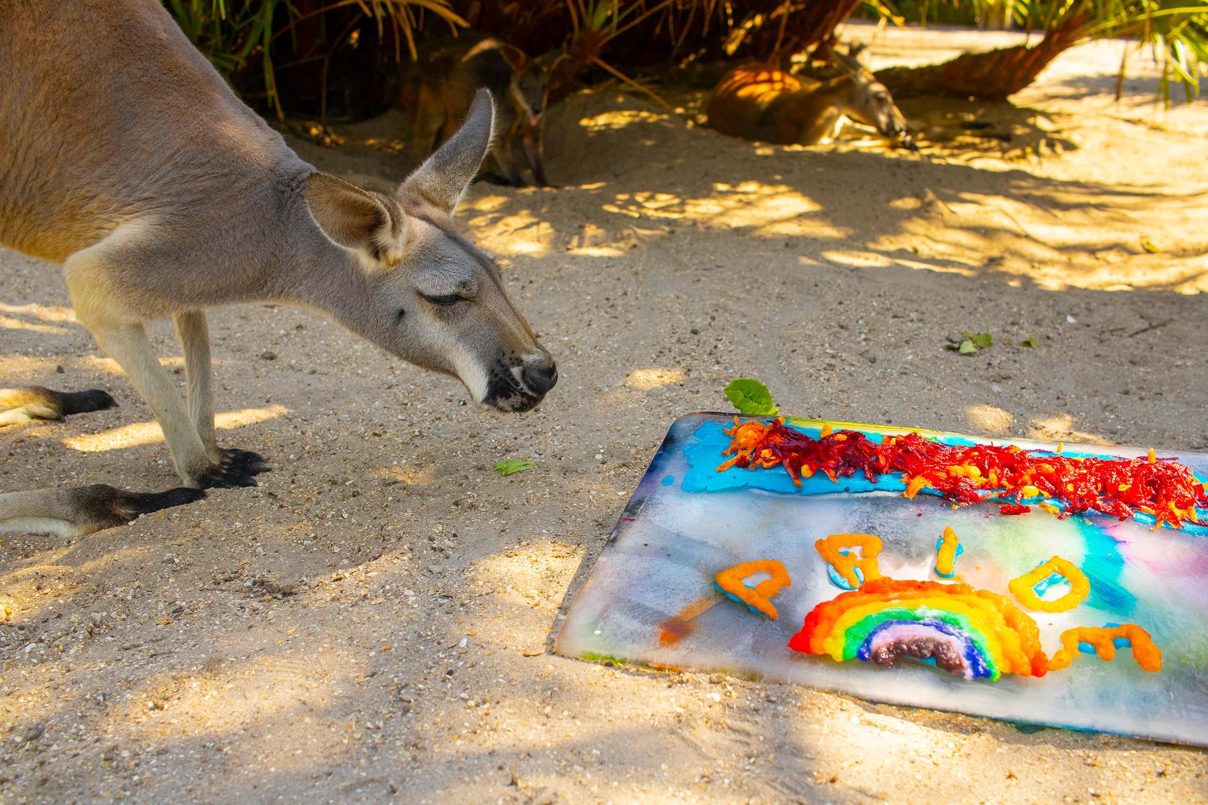 Kangaroo enrichment at Brevard Zoo