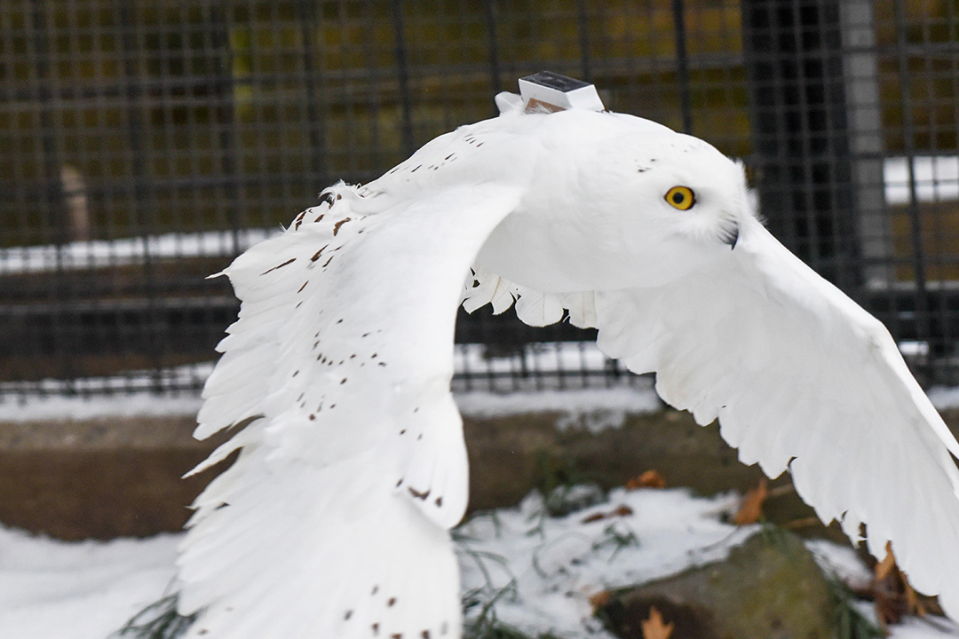 Snowy owl flying with tracker on back