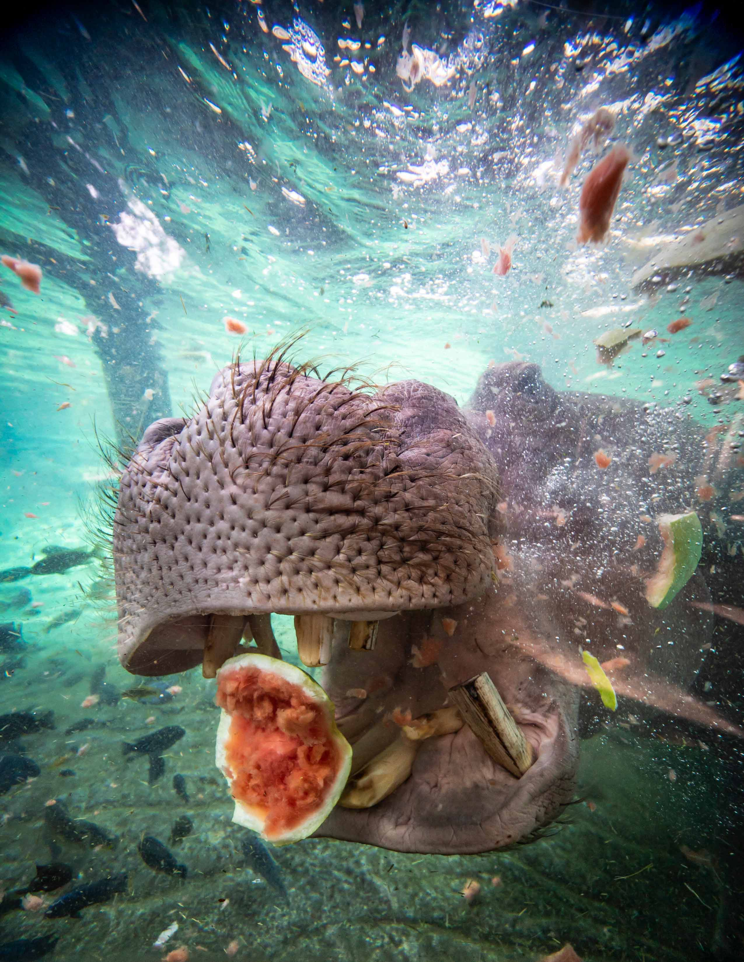 A hippo eating underwater