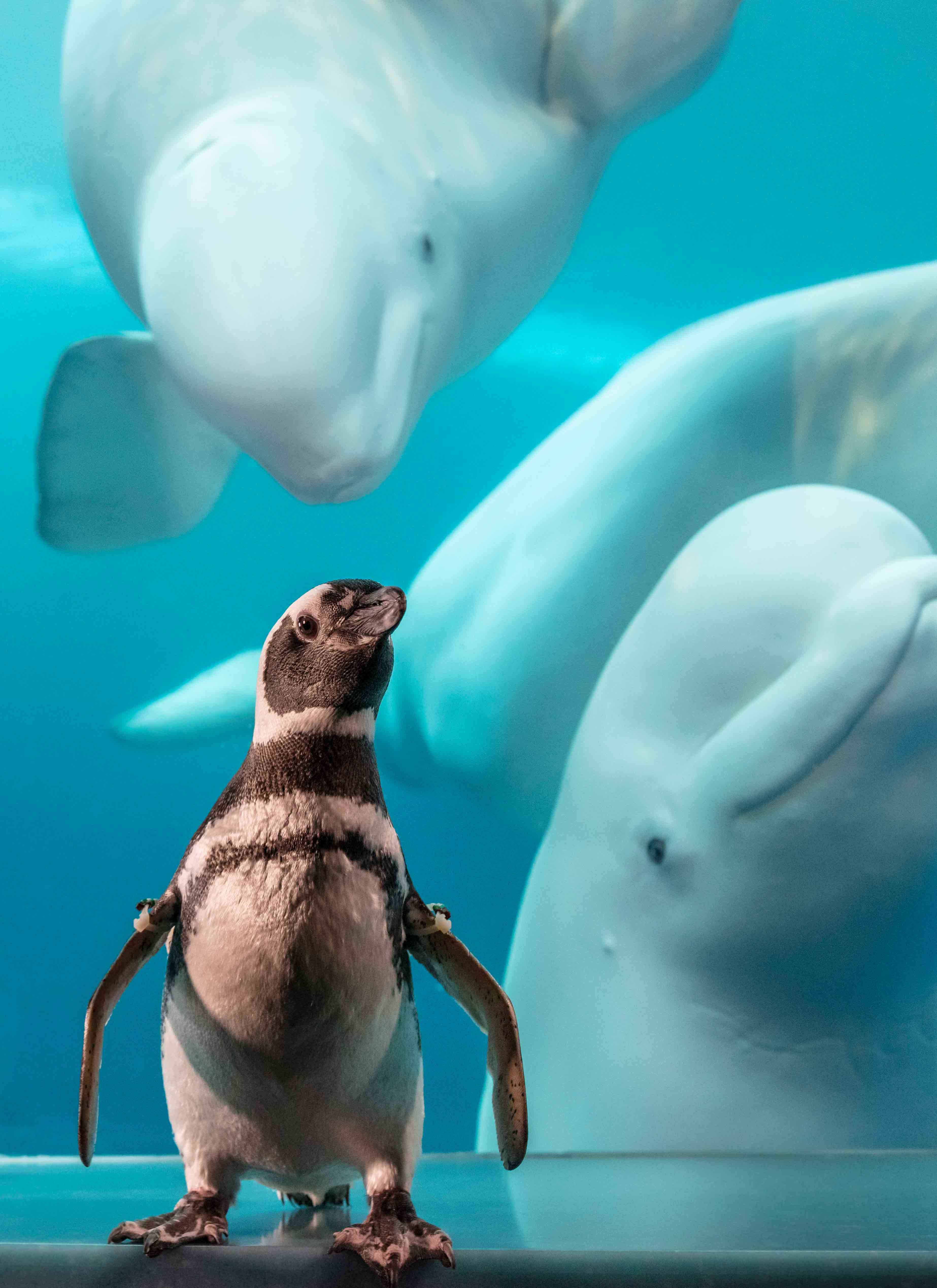 Magellanic Penguin and Beluga Whale