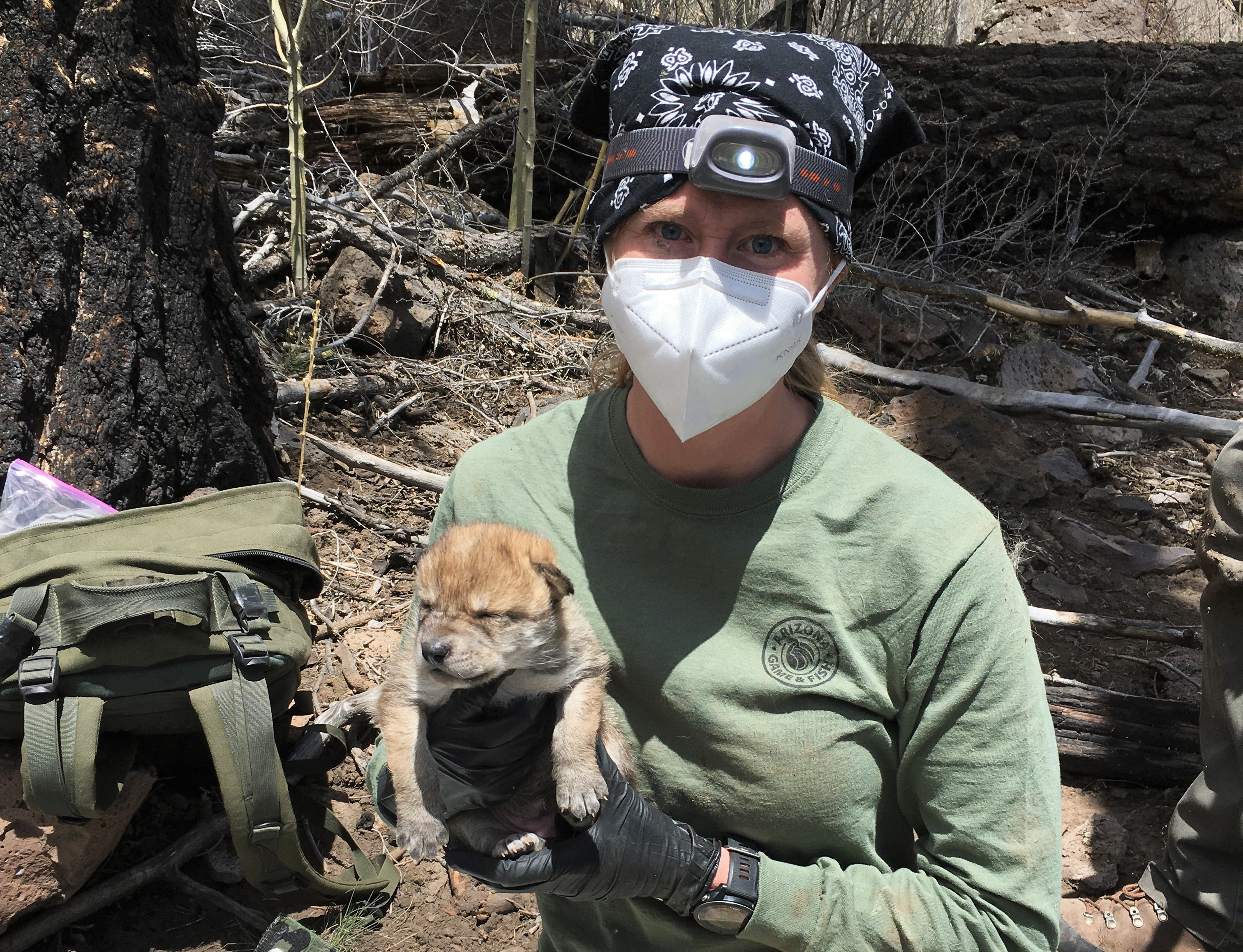 Biologist holding a Mexican wolf pup