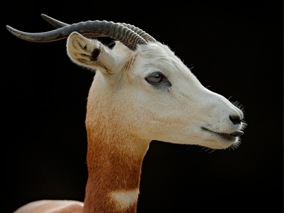Dama gazelle close up of face