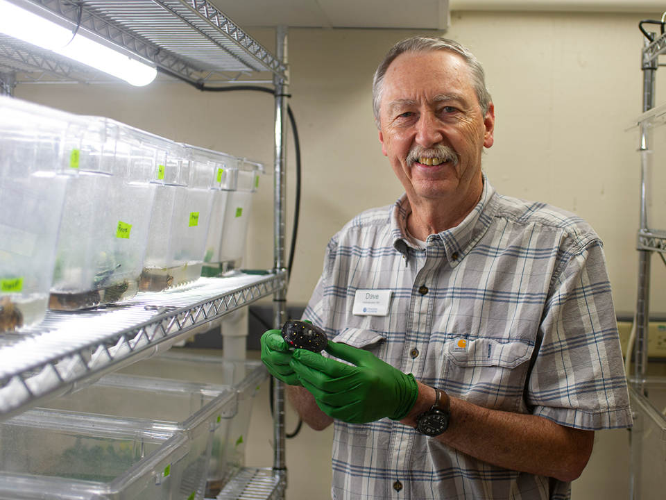 Dave Collins holds a spotted turtle hatchling