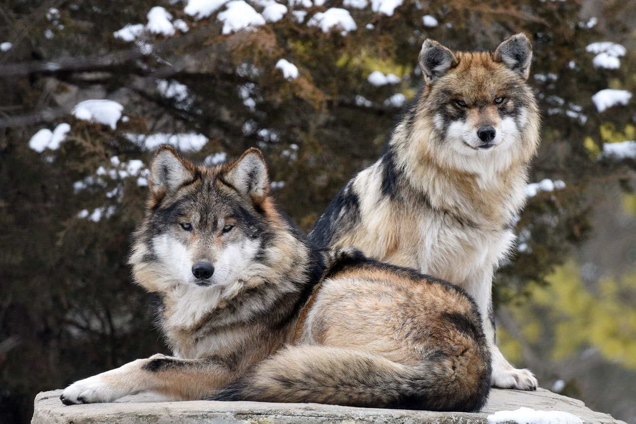 Two Mexican wolves on a rock
