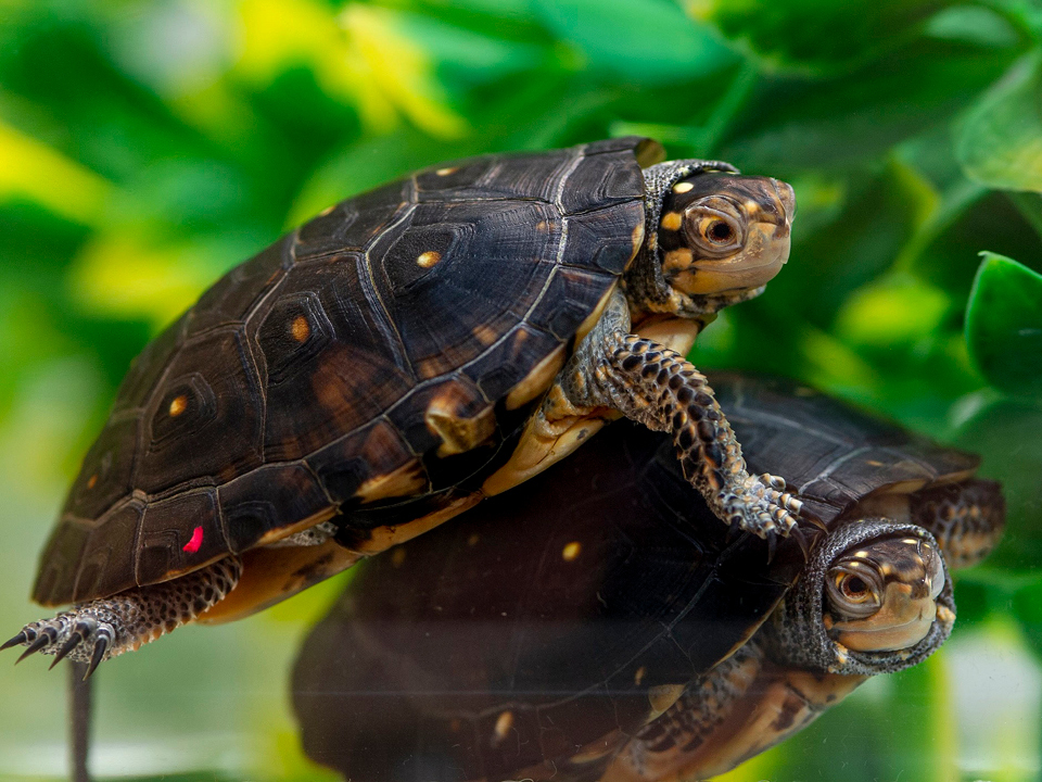 Endangered spotted turtle hatchlings at the Tennessee Aquarium.