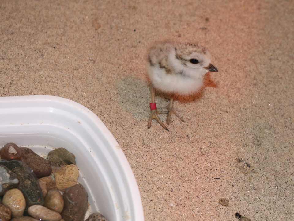 One piping plover chick near food