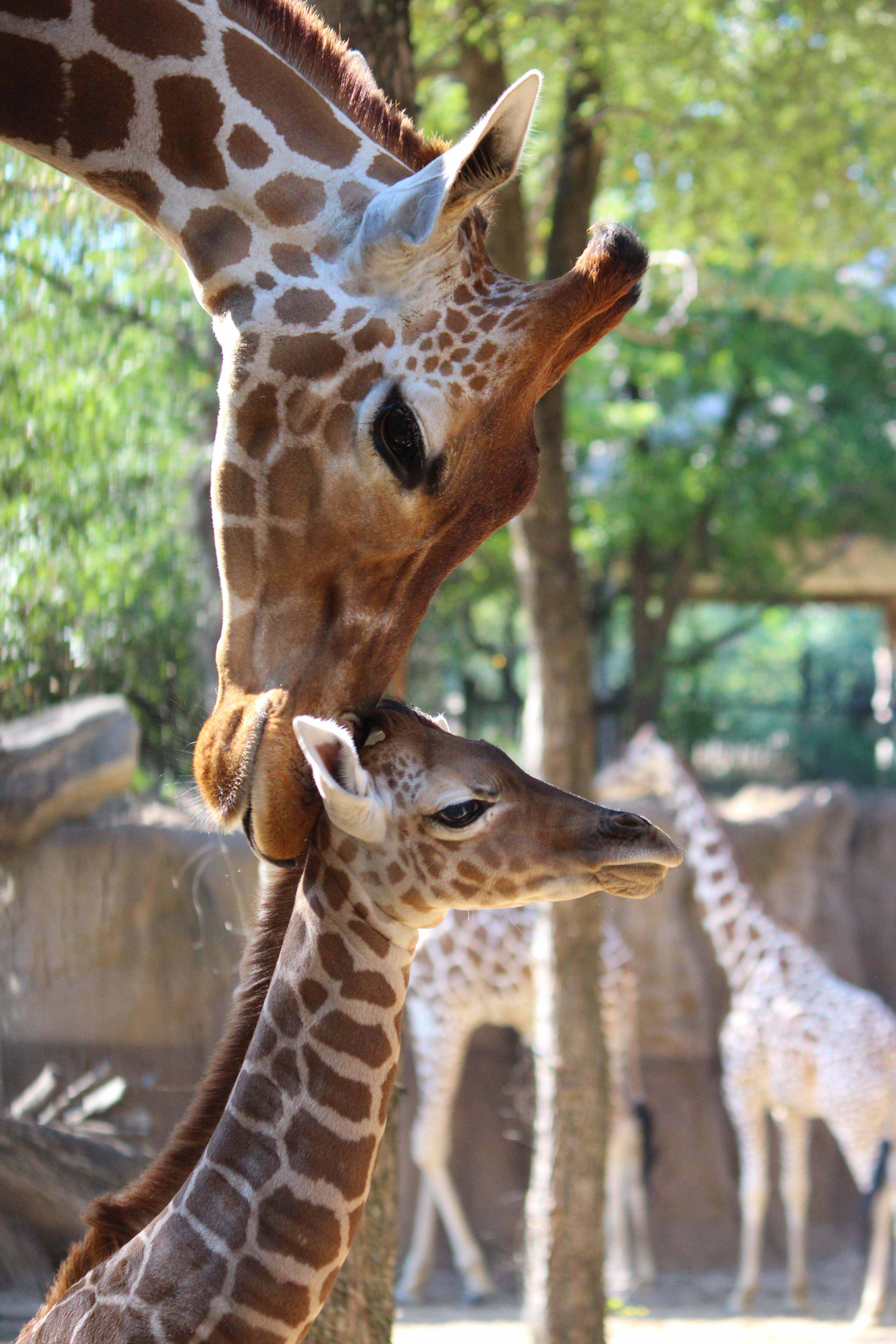 Adult and young reticulated giraffe