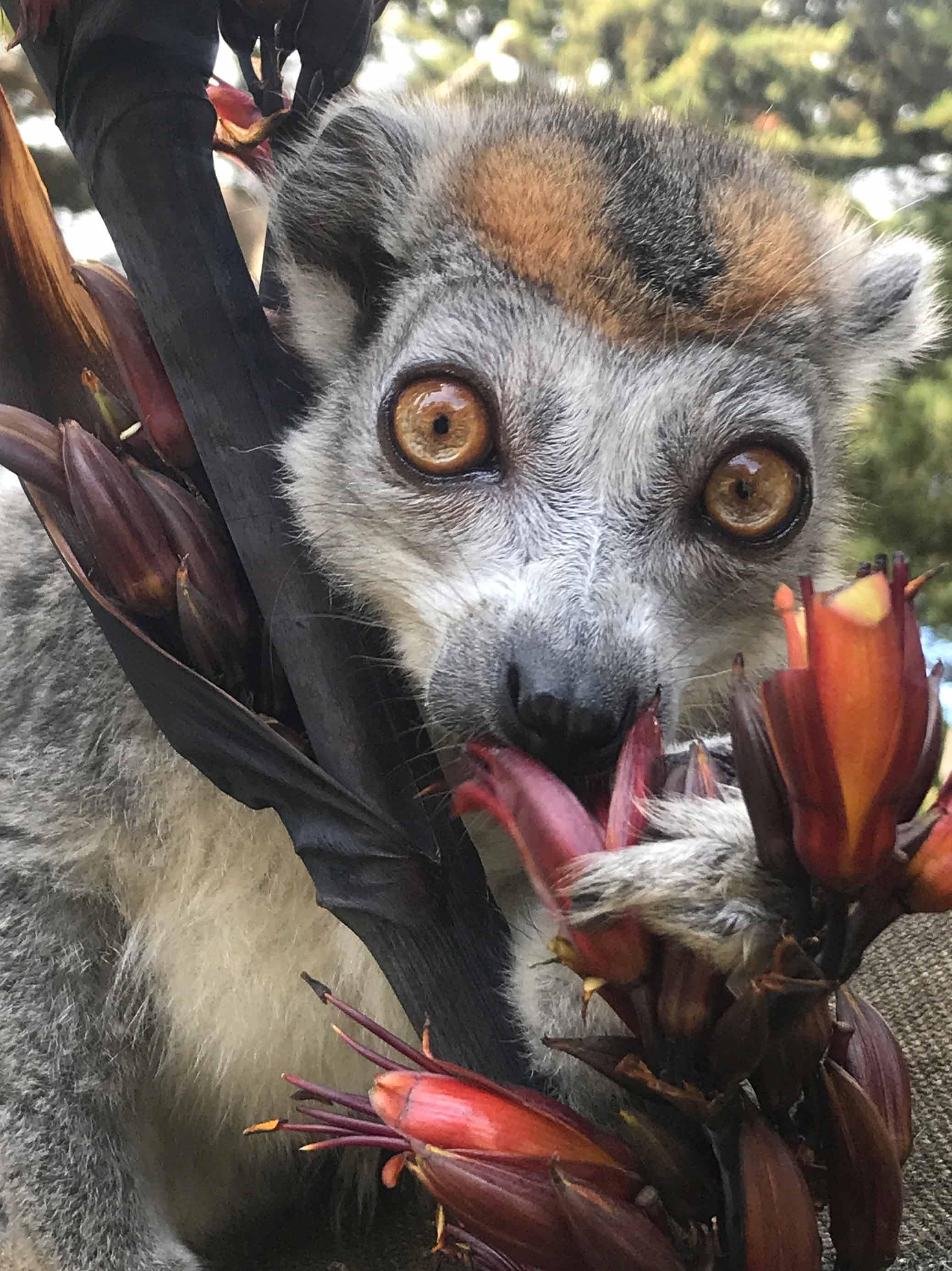 Crowned lemur in a tree