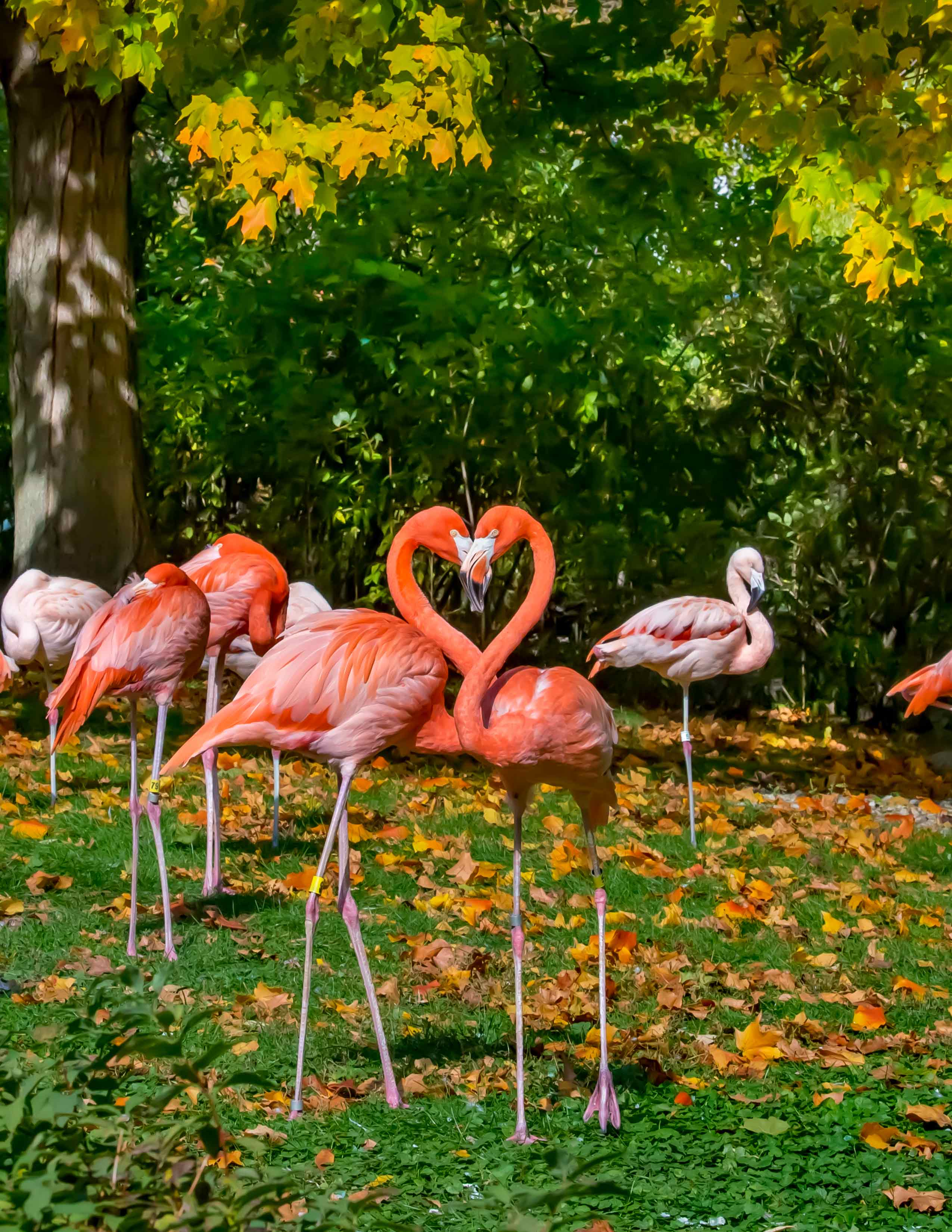 Caribbean and Chilean flamingoes