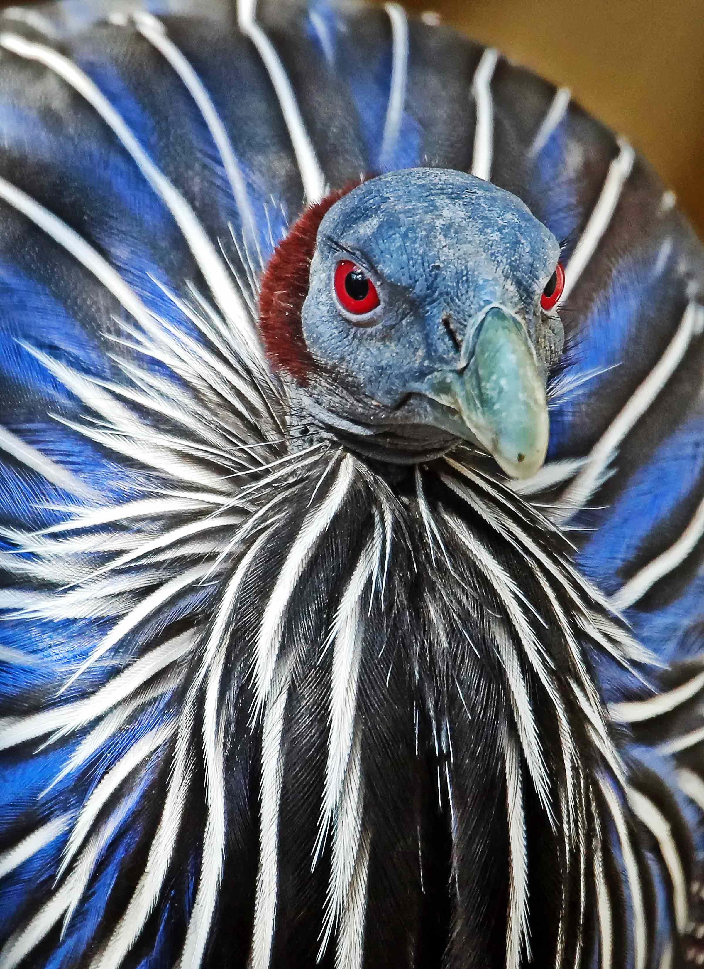 Vulture guineafowl