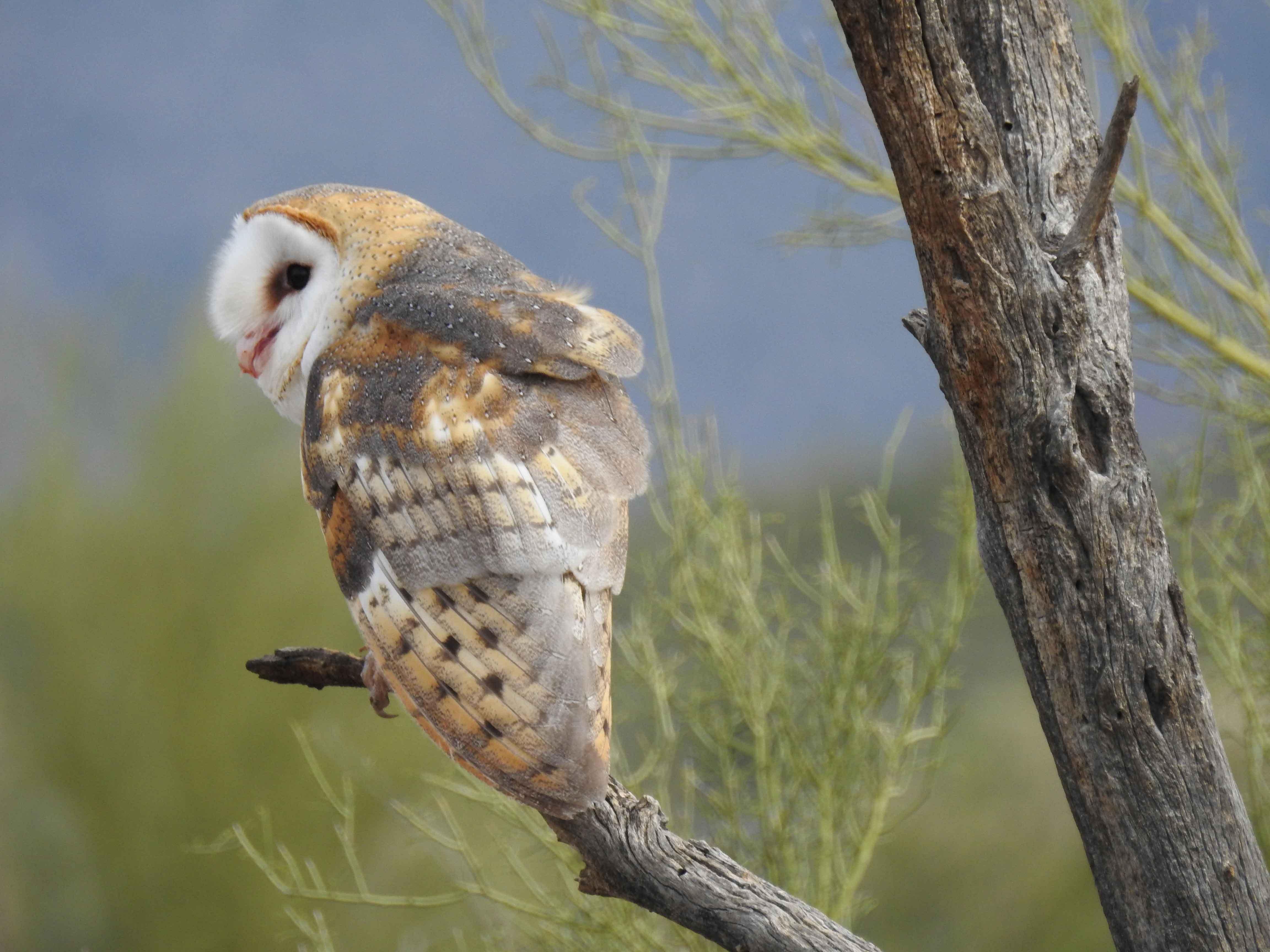 Barn owl sitting on a branch
