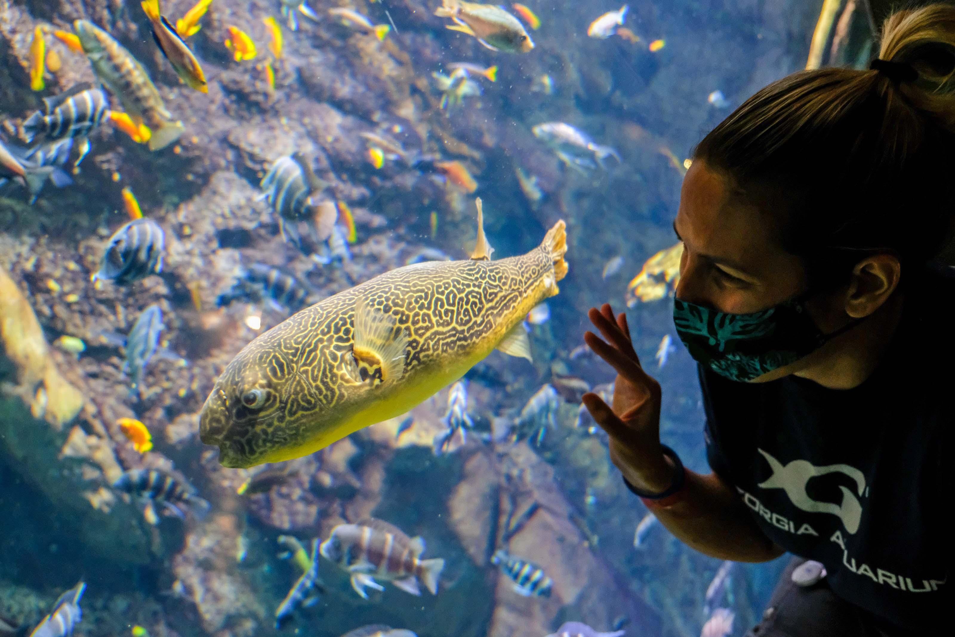 Georgia Aquarium pufferfish