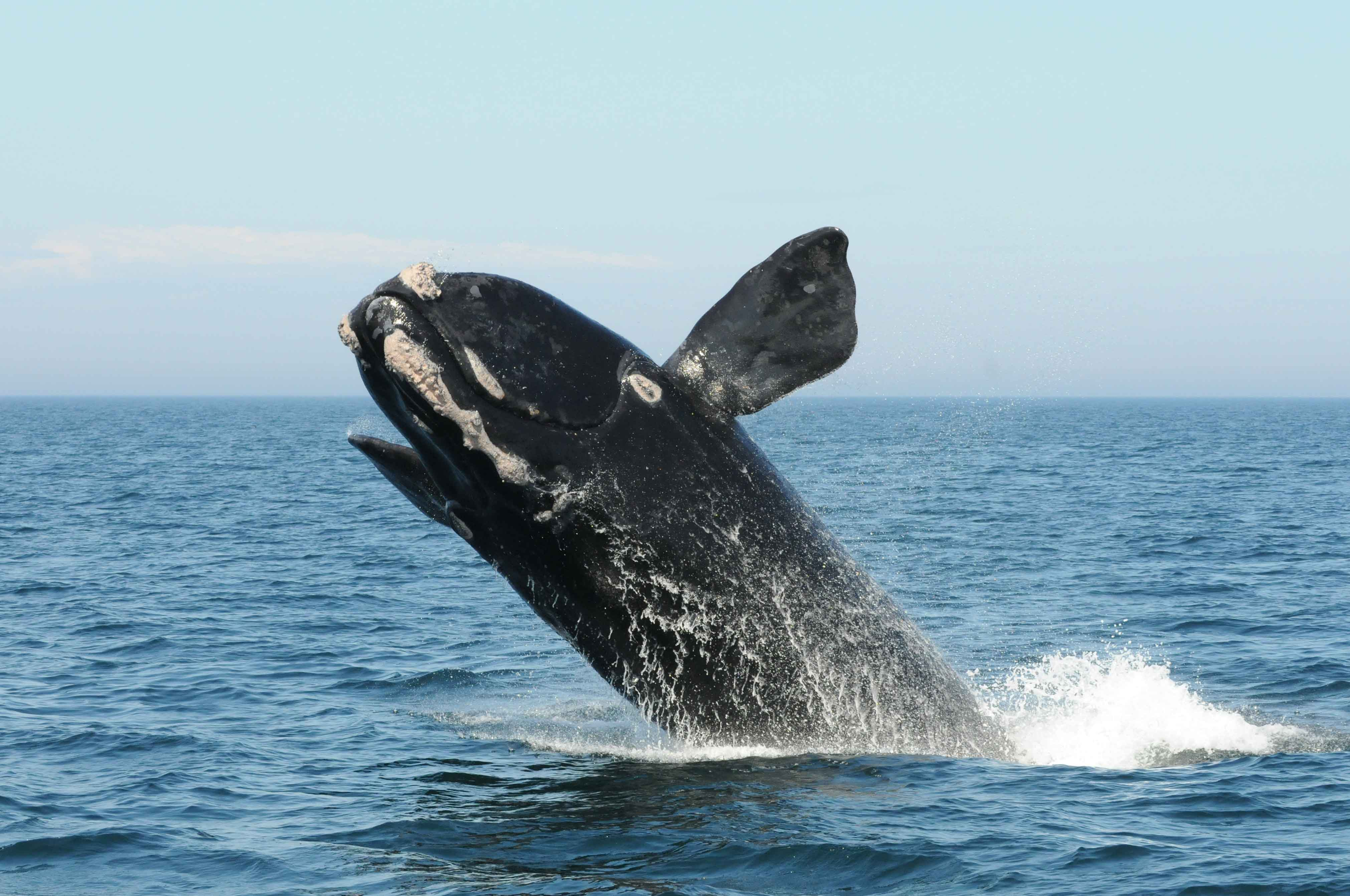 Right whale jumping out of the water