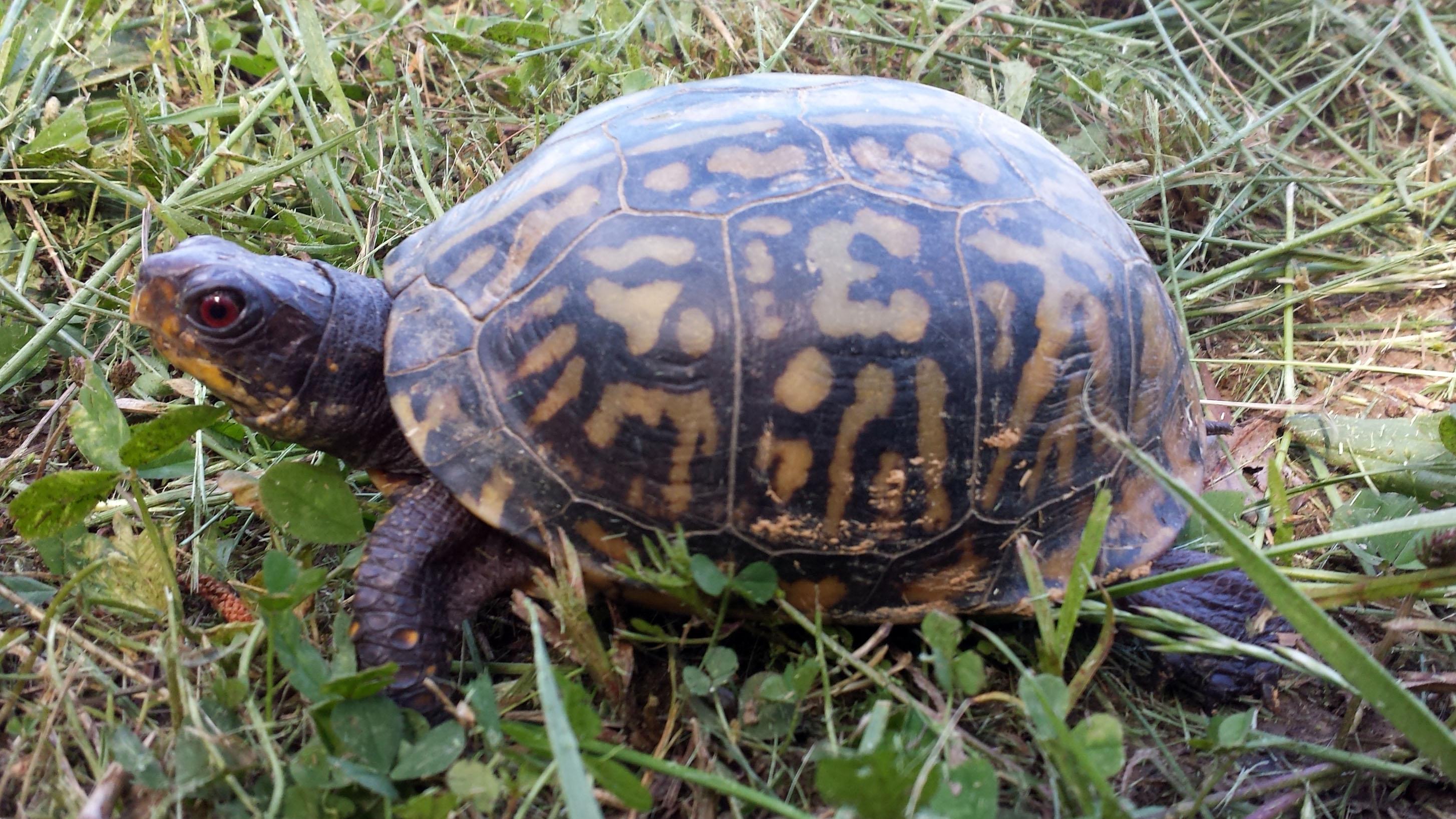 An American box turtle crawls through the grass.
