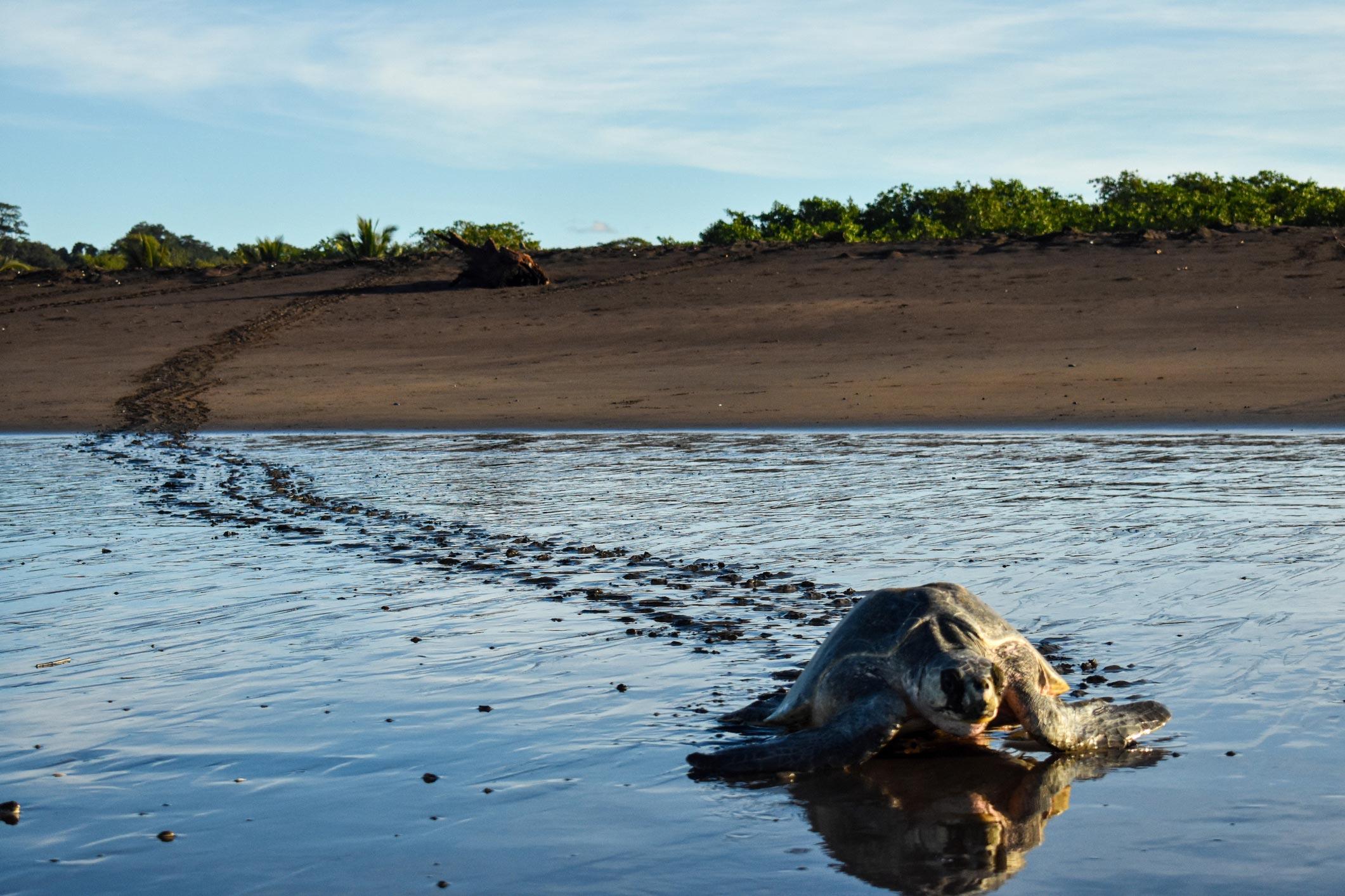 sea turtle heading to the ocean