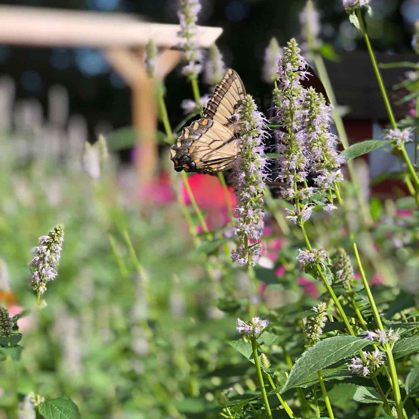 A butterfly on flowers at the Staten Island Zoo's certified wildlife habitat