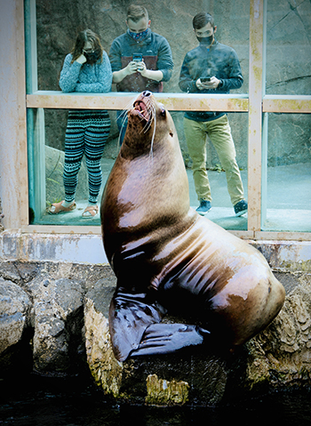 Guest wearing masks looking at the sea lion exhibit