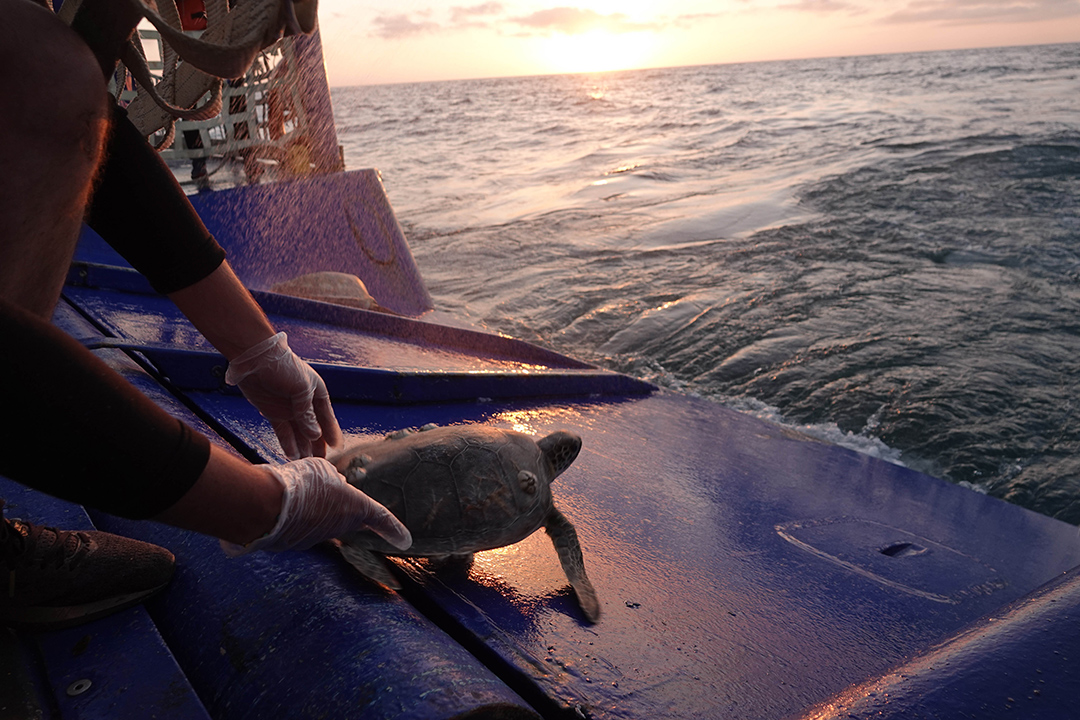 Texas State Aquarium releases a sea turtle
