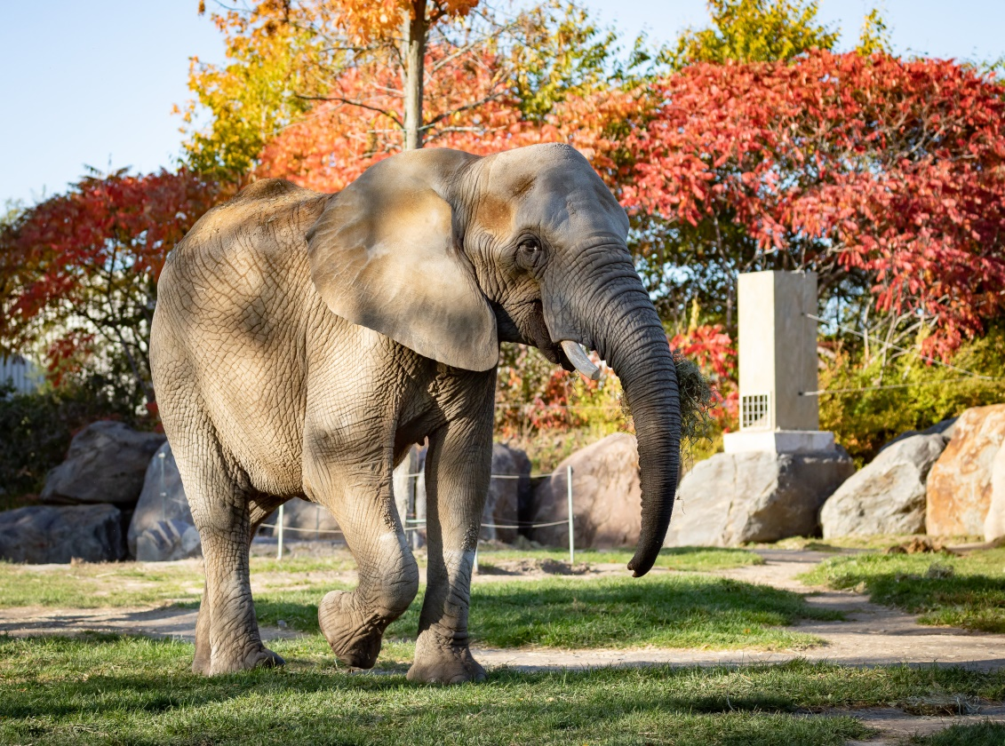 Image of Thandi the elephant at Granby Zoo