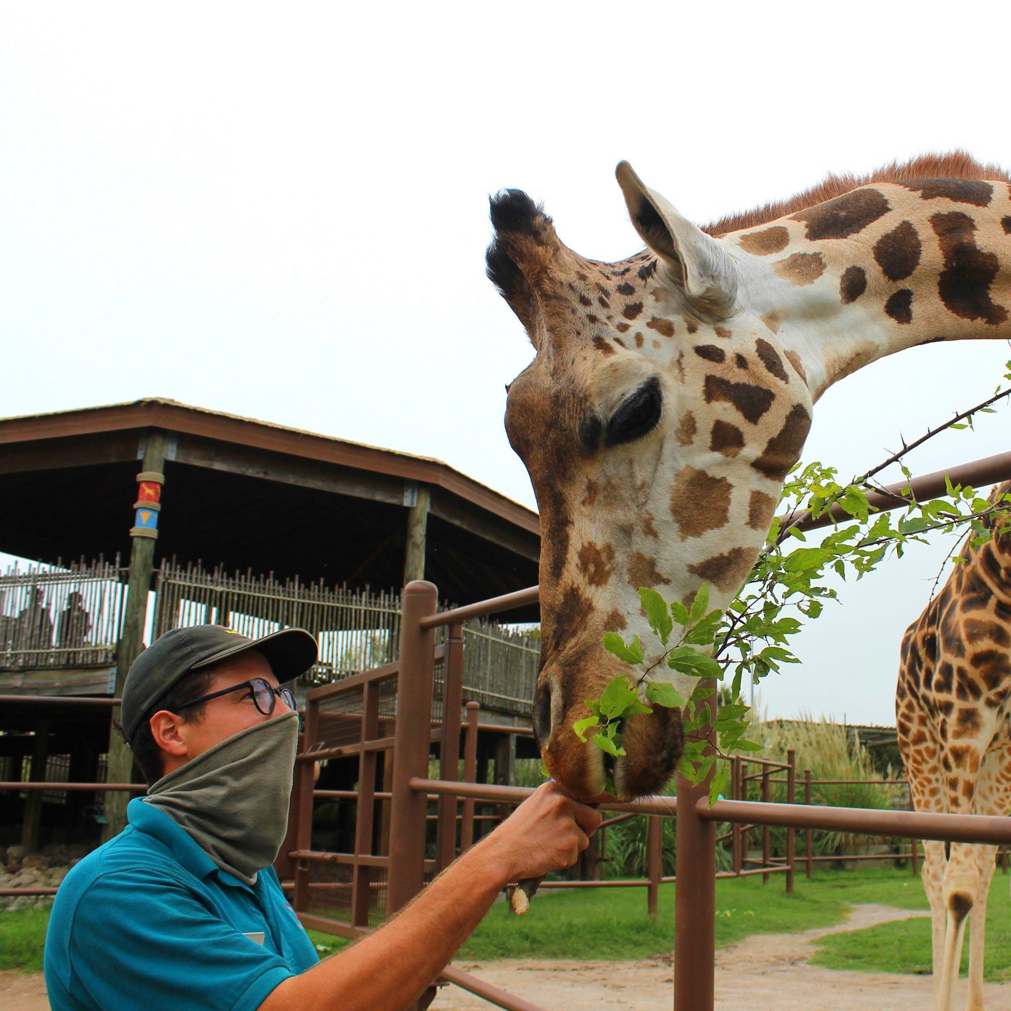 Tulsa Zoo giraffe feeding