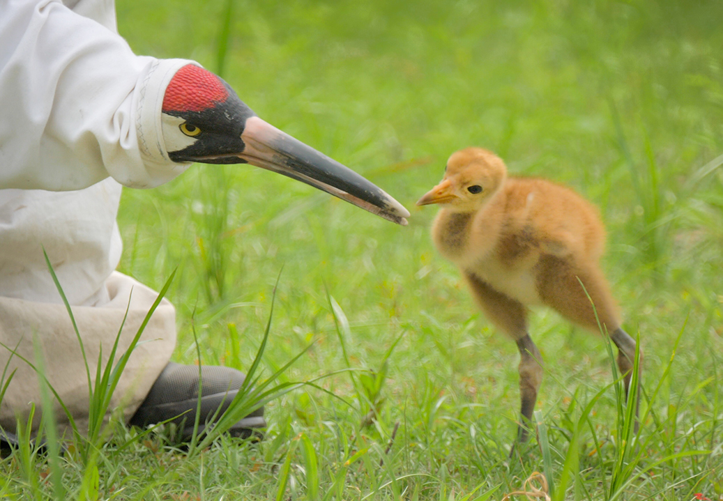 Whooping crane chick with a 'fake' adult whooping crane