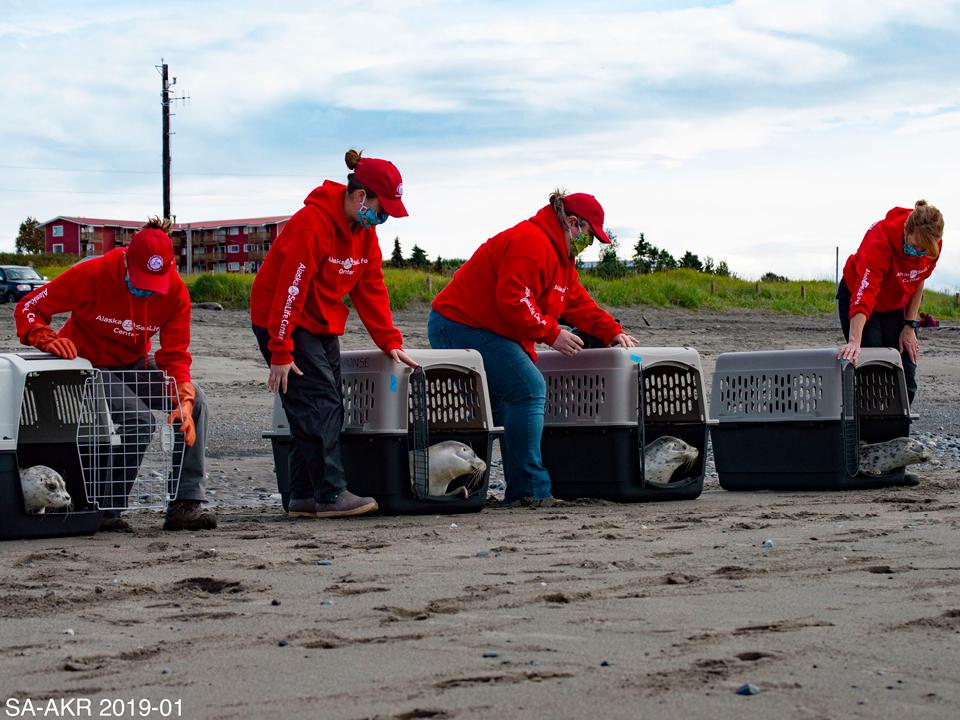Alaska SeaLife Center Wildlife Response team release seals
