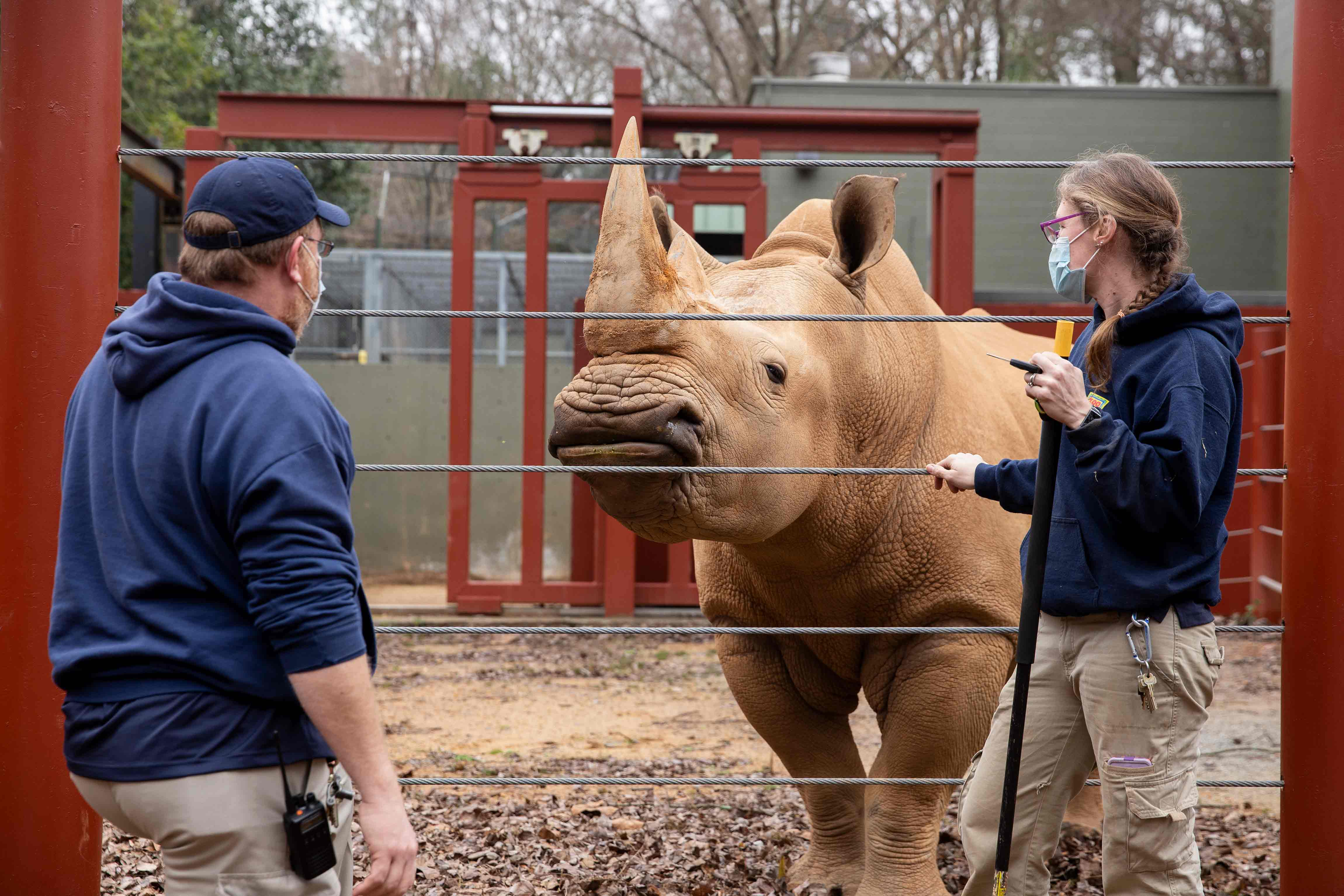 Zoo Atlanta rhino Mumbles gets cleaned by keepers