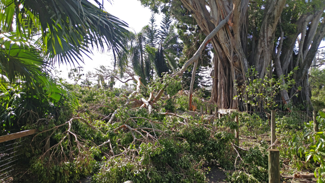 The path between the Black Bear exhibit and the area of the Fosa exhibit was completely blocked by trees and limbs. Date: 9/12/17
