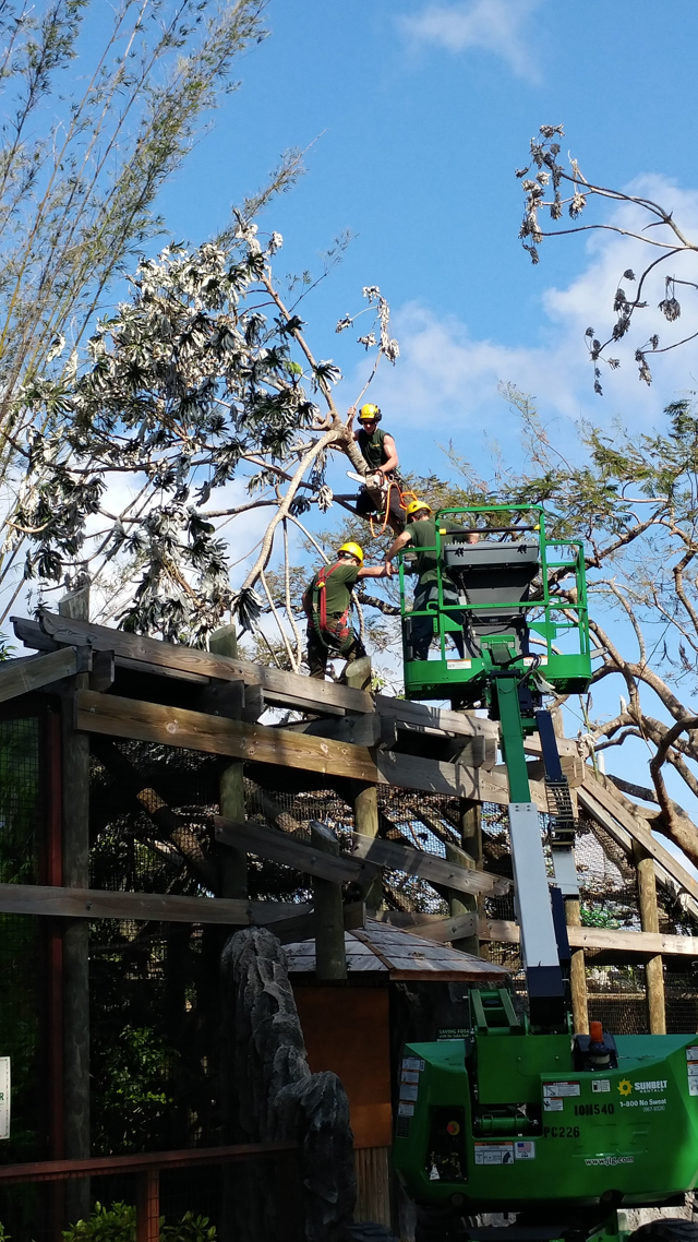 Crews from the Davey Tree Expert Company work to remove a tree from the roof of the Fosa exhibit. Date: 9/12/17
