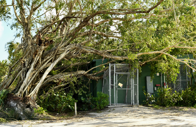 A ficus tree fell on the roof of our panther building. Luckily, the inside of the building remained intact. Date: 9/12/17
