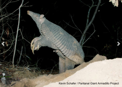 A giant armadillo raises its head