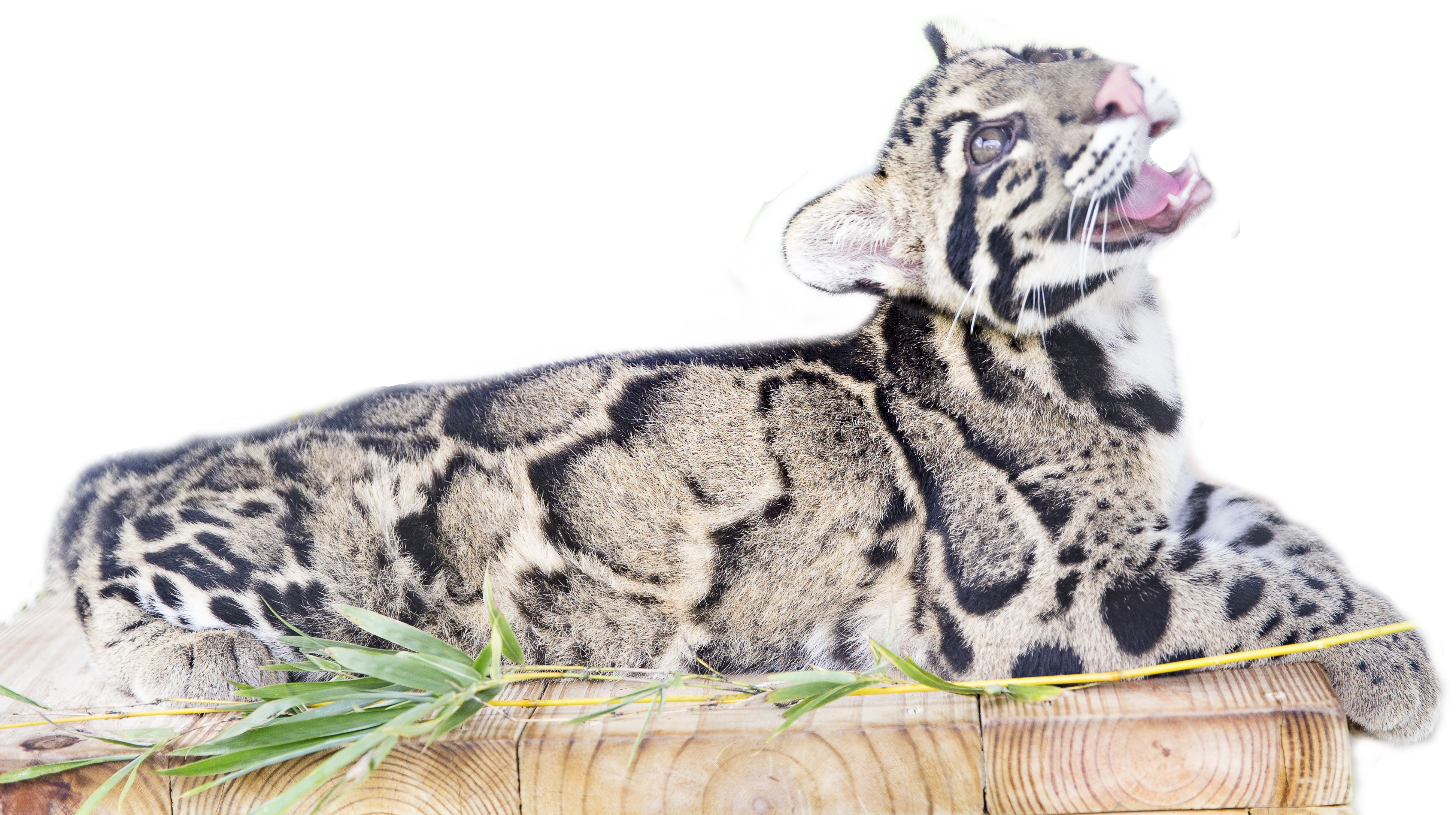 new to the zoo clouded leopard cut out  new to the zoo: american colonial homes brandon inge