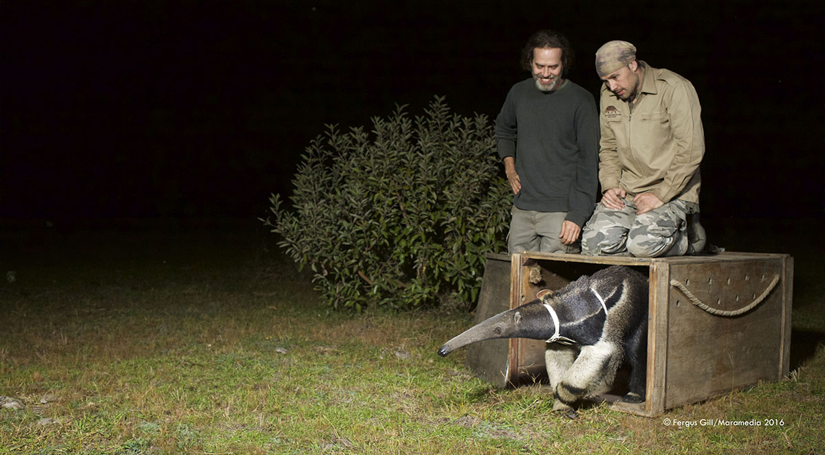 Researchers and a Giant Anteater Equipped with a GPS Harness