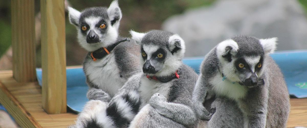Lemurs in their habitat