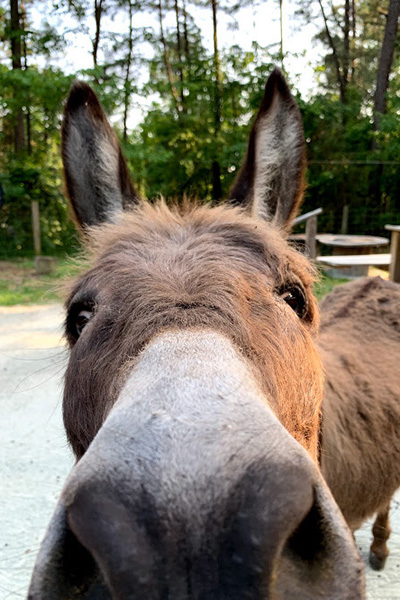 A close up of Lightning the donkey. Boop!