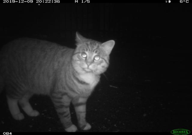 Community cat at night captured on field camera