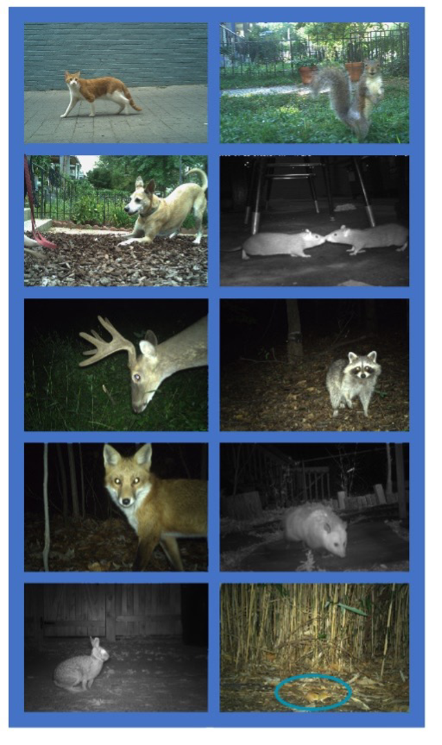 Animals photographed by the DC Cat Count camera traps