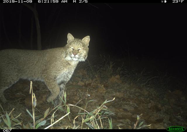 Bobcat captured on DC Cat Count camera trap