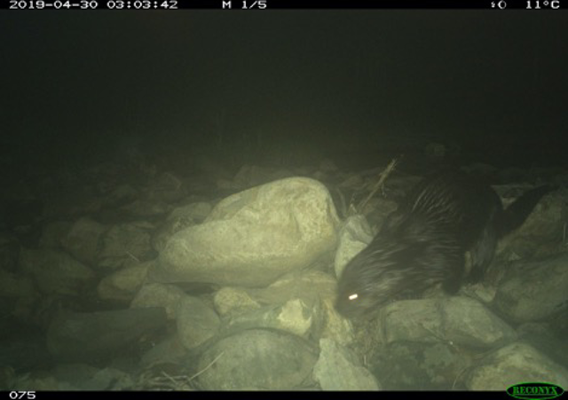 North American Otter image captured by DC Cat Count camera trap