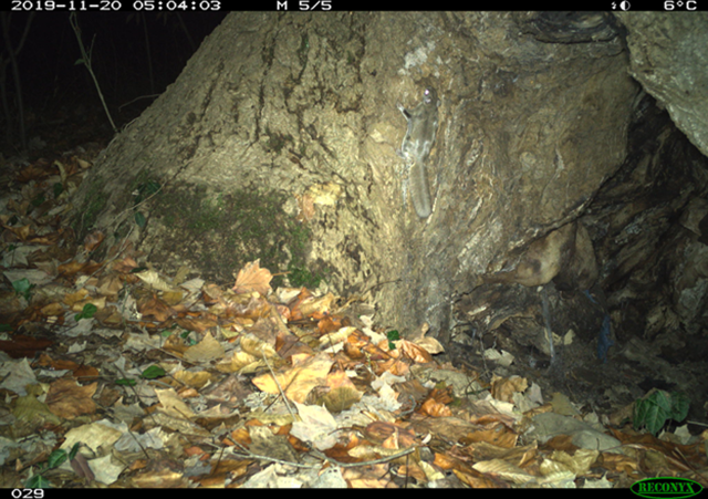 Southern flying squirrel image captured by DC Cat Count camera trap