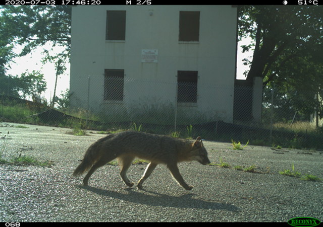 Grey fox walking through DC photographed on a DC Cat Count camera trap
