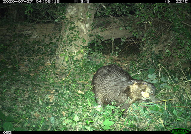 American beaver in DC photographed on a DC Cat Count camera trap