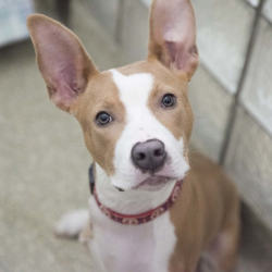 Adoptable dog Bronx